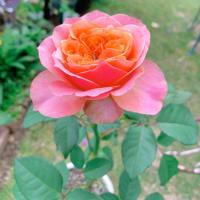 切り花品種のバラ