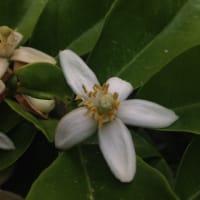 パール柑の花