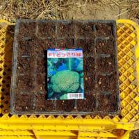 ブロッコリーの播種2回目と1回目組のポット上げ
