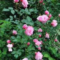 ムフフの薔薇活用 その壱
