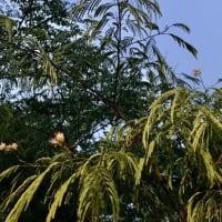 オサンポ walk - 植物plant: 三葉(ミツバ)君 Three-leaves-boy 2