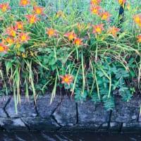 百日紅の小径はオレンジの色の花でいっぱい(⋈◍>◡<◍)。✧♡