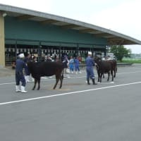 大崎和牛改良推進組合が県共進会代表牛選考会を開催