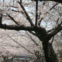 フォト瘋癲老仁妄句『 汝と吾観音共振散る桜 』xzx2401