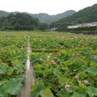 蓮の花苑 開花状況7