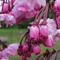 京の桜 2020 京都御苑の八重紅枝垂れ桜