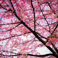 日光だいや川公園の桜