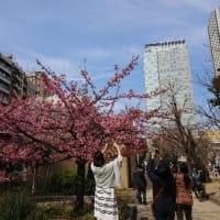 錦糸公園☆河津桜2019