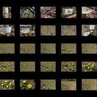 京都西山 2020年 ポンポン山の黄色い花二題♫