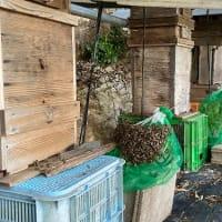今年2つ目の二ホンミツバチの分蜂群が入居したよ!