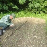 超遅まきのトウモロコシ、収穫できるか?