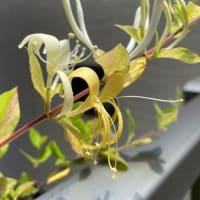 金銀花と桑の実