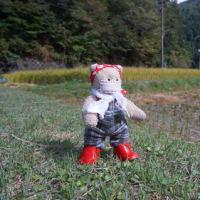 黄金色に山間の田んぼを染める稲穂。秋の実りを収穫する京都左京区の山里「久多」での稲刈り作業。