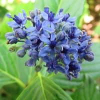紫陽花「伊豆の華」  3
