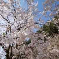 2020年3/23 本乗寺の枝垂れ桜(熊野市飛鳥町)
