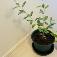 Oliveの木