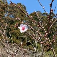 十八成浜 希望の花(アーモンド)が今年も咲きました!!