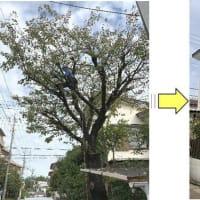 桜の落葉に伴い近隣の方々にご迷惑がかかってしまっていると枝おろしご依頼