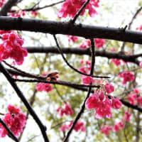 オオカンザクラ  すこしうつむいて、ほほ染めて   東京都江東区都立の森