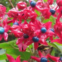 クサギ(臭木)の実 ~ 赤い花が咲いているような