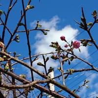 梅一輪と共に開花宣言