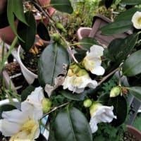 ヒヤシンス:白花椿