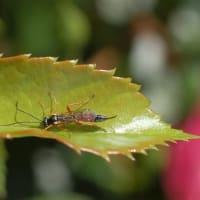 キッスオブフローリアと昆虫