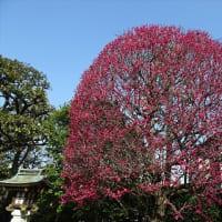 「紅梅・白梅」/稗田神社