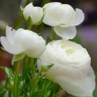白いラナンキュラス