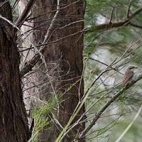 今日の笠利方面の鳥見