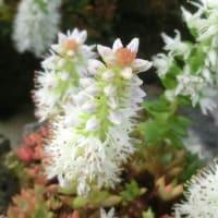 ツメレンゲの花は