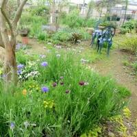 宿根草の庭~ヤグルマギク