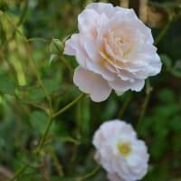 ウィリアム・シェイクスピア2000やバフビューティを楽しんで♪  秋バラ その2