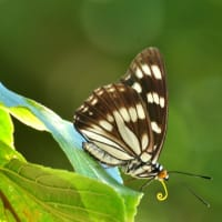 新潟の野蝶 ゴマダラチョウ