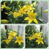 黄色のユリがやっと咲きました