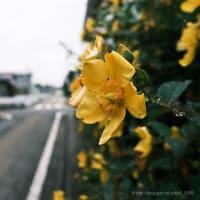 どんよりとした空の下で咲く花