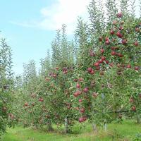 「秋映」の季節・・・信州上田郊外の・・・林檎畑から・・・