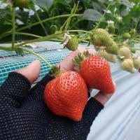 長崎ゆめのか、イチゴ高設栽培
