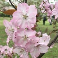 桜2021〜京都府立植物園(3/30)