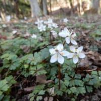 和菓子屋さんの植物園でセツブンソウなど早春の花々、梅のアイス。