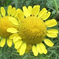 黄色の花 7種