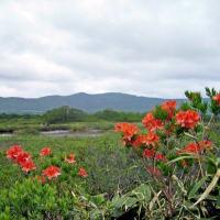 風に揺れる湿原のワタスゲ