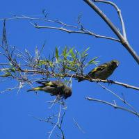 カワラヒワ 幼鳥