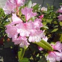 石楠花が咲きました!