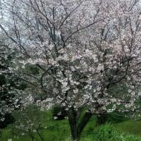 桜が綺麗ですね!