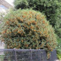 金木犀 咲く