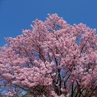 「紅・桜」/新宿御苑2020