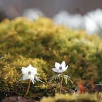 春告げ星、節分草の春