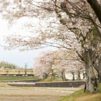 西武イエローと桜
