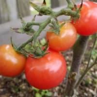家庭菜園にプチぷよミニトマトが加わりました